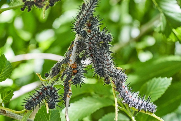 Mourning cloak caterpillars mobbing elm branch. - PHOTO BY ANTHONY WESTKAMPER