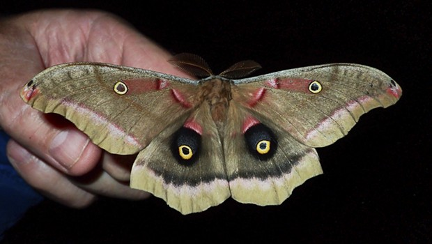 A Polyphemus moth on my hand, showing scale. - ANTHONY WESTKAMPER