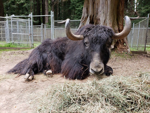 Moses the yak. - SEQUOIA PARK ZOO
