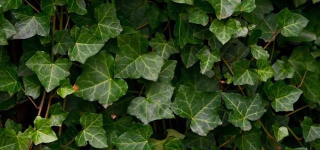 Kill the Ivy. Kill it All.