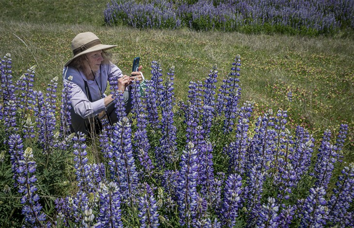Lupines on Bald Hills Road