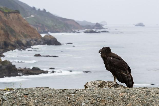 A juvenile California condor in Big Sur.