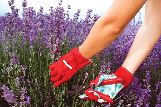 Freshly harvested lavender, ready to soothe you and save your sweaters from moths.