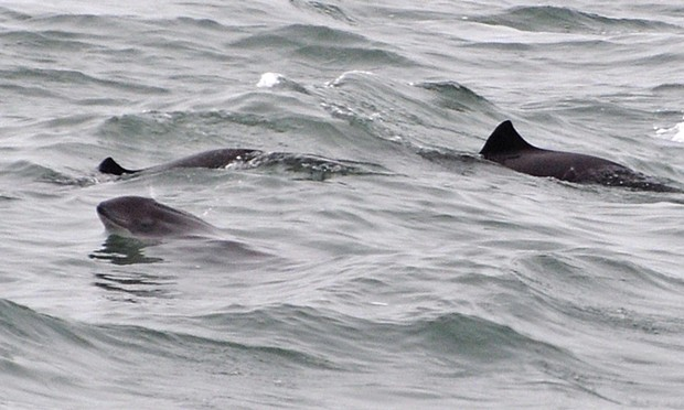 Harbor porpoises in the Humboldt Bay entrance channel.