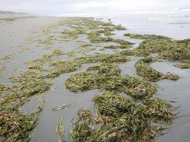 Eelgrass drift on Mad River Beach.
