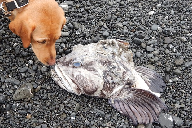 Lingcod head with a 70-pound dog for scale.