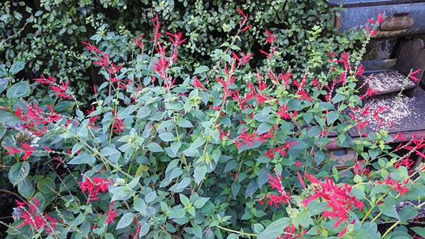 The bright red blossoms of fragrant pineapple sage.