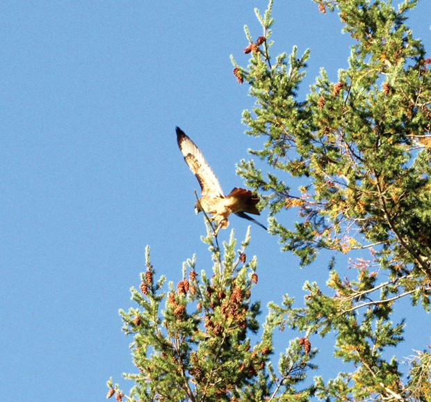 """A red-tailed hawk, the author's """"gateway bird."""""""