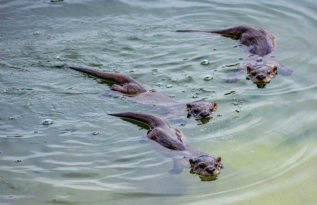 River otters at the Arcata Marsh and Wildlife Sanctuary. Give them some space. Photo by Mark Larson