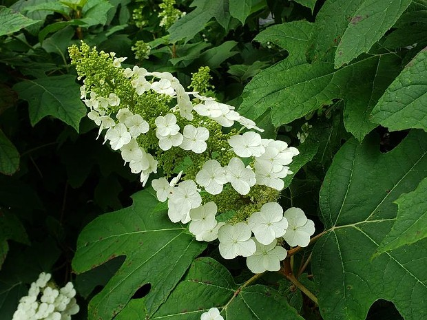 oak_leaf_hydrangea_snow_queen_-hbg.jpg
