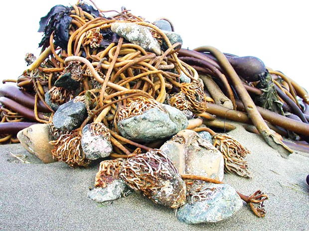 Cobbles transported to shore by bull kelp holdfasts.