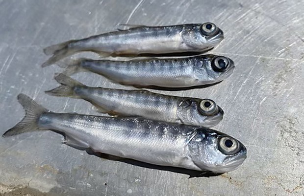 A fast-spreading disease is killing nearly all of the juvenile salmon on the Klamath River.