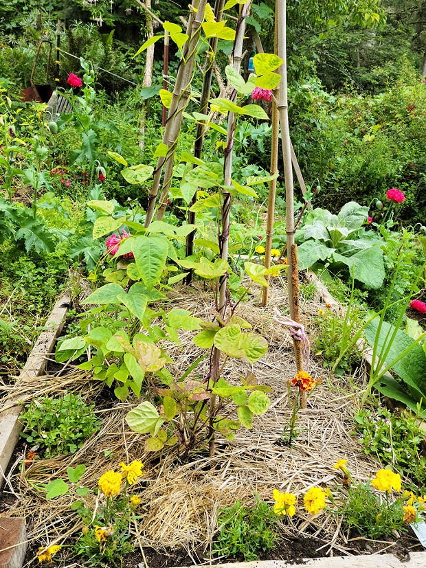 Containing water around marigolds, onions, violas and pole beans with straw mulch.