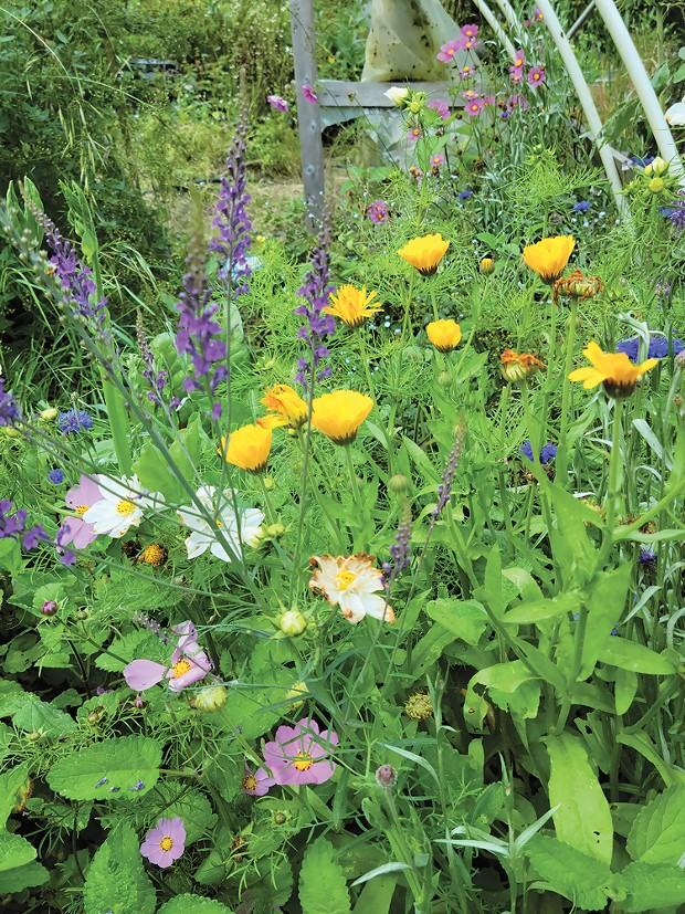 Saved seeds from cuttings yield poppies, calendula, bachelor's buttons, toadflax, cosmos and maybe a few surprises.