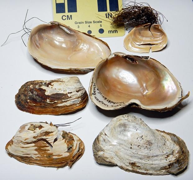 Northwest ugly clam shells.