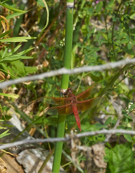 Flame skimmer recreates a carboniferous-era scene perching on a horsetail, which, like the dragonfly itself, far predates the dinosaurs. - PHOTO BY ANTHONY WESTKAMPER