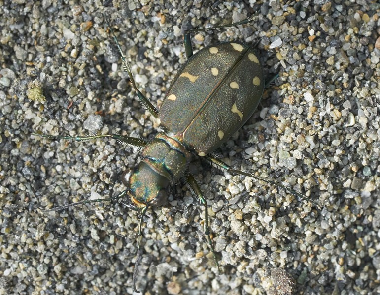 A tiger beetle unable to run away. - PHOTO BY ANTHONY WESTKAMPER