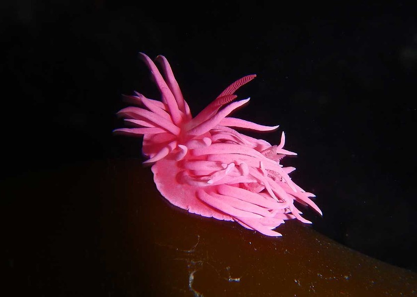 Hopkins' rose sea slug. - PHOTOGRAPH BY MIKE, JULIE AND JEN KELLY