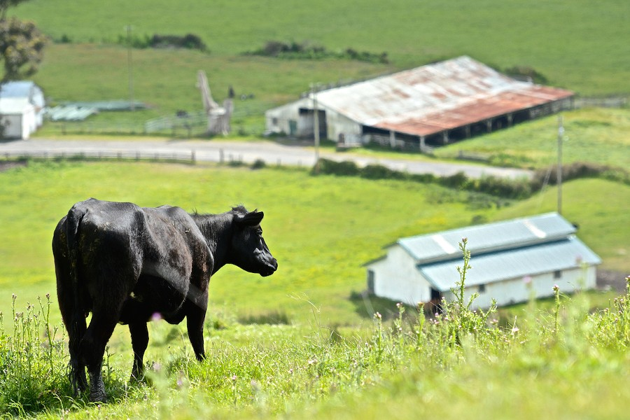 A cow takes a moment from grazing to take in the sea breeze coming off the Pacific Ocean on Wildcat Road overlooking Capetown Ranch, about midway between Ferndale and Petrolia. - JOSE QUEZADA