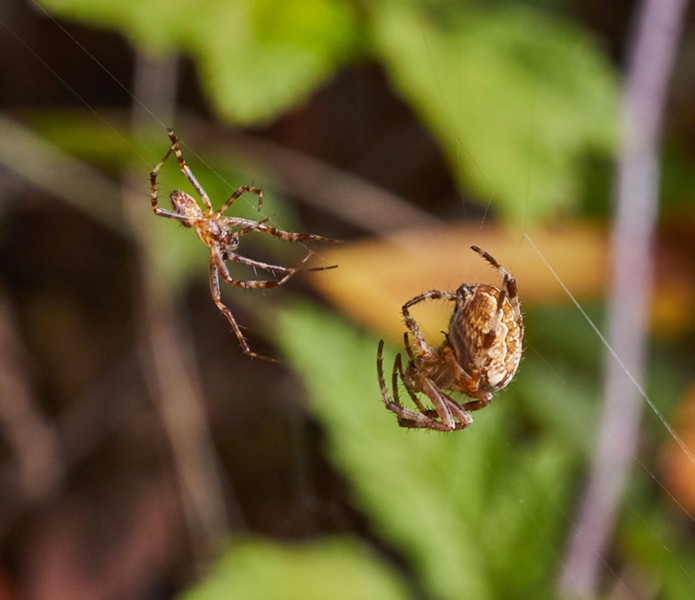 Male approaches female spider. - PHOTO BY ANTHONY WESTKAMPER