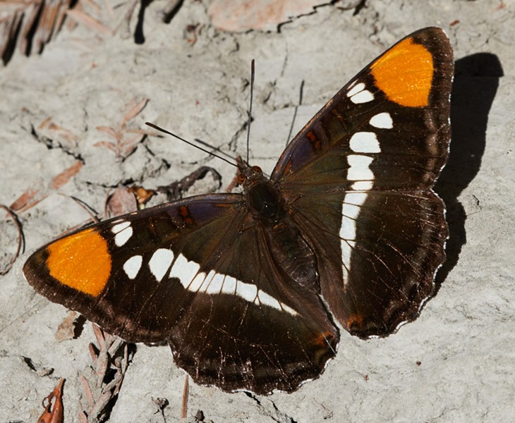 California sister showing some wear on its wings (gender undetermined). - PHOTO BY ANTHONY WESTKAMPER