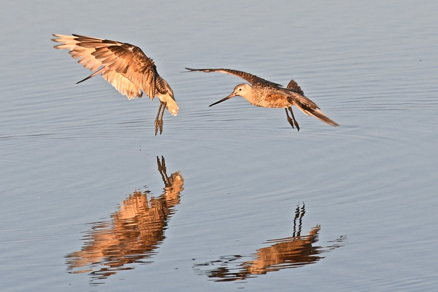 Marbled godwit navigate fishing areas near Klopp Lake at the Arcata Marsh and Wildlife Sanctuary. - JOSE QUEZADA