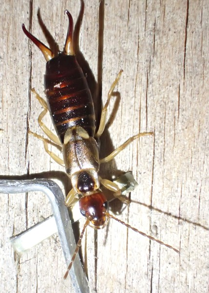 Female earwig on my woodshed beside a staple. - PHOTO BY ANTHONY WESTKAMPER