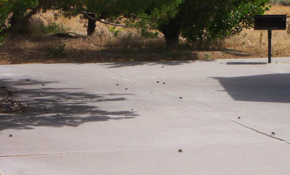 2004 Mormon crickets at a rest area on U.S. Highway 50 in Nevada. - PHOTO BY ANTHONY WESTKAMPER
