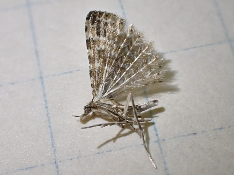 A tiny 21 plumed moth. - PHOTO BY ANTHONY WESTKAMPER