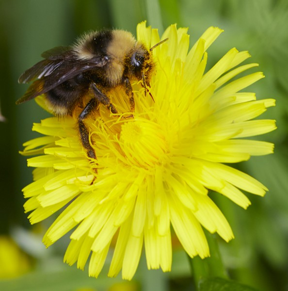 An as yet to be identified bumblebee on dandelion - PHOTO BY ANTHONY WESTKAMPER