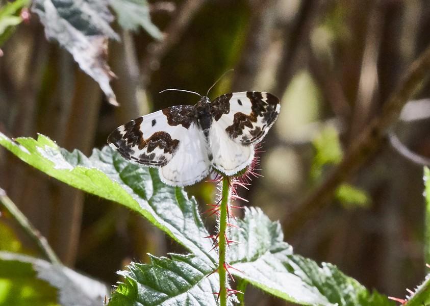 Western white ribboned carpet moth. - PHOTO BY ANTHONY WESTKAMPER