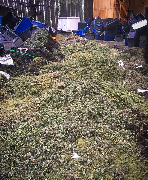 A picture of a marijuana bud pile from the Nov. 27 bust at a property in Southern Humboldt that may be connected to the failed plan to allegedly kidnap, rob and torture a Humboldt County grower. - SUBMITTED