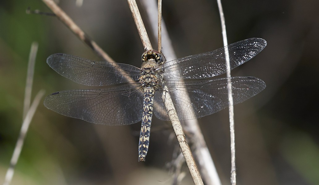 Red rock skimmer female (Paltothemis lineatipes). Males are brick red with black markings. - PHOTO BY ANTHONY WESTKAMPER