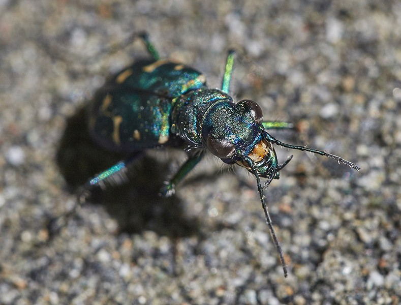 A western tiger beetle. - PHOTO BY ANTHONY WESTKAMPER