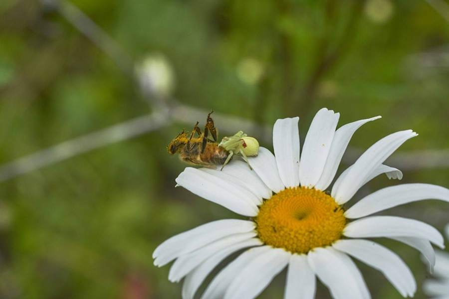 Crab spider takes a honeybee. - PHOTO BY ANTHONY WESTKAMPER