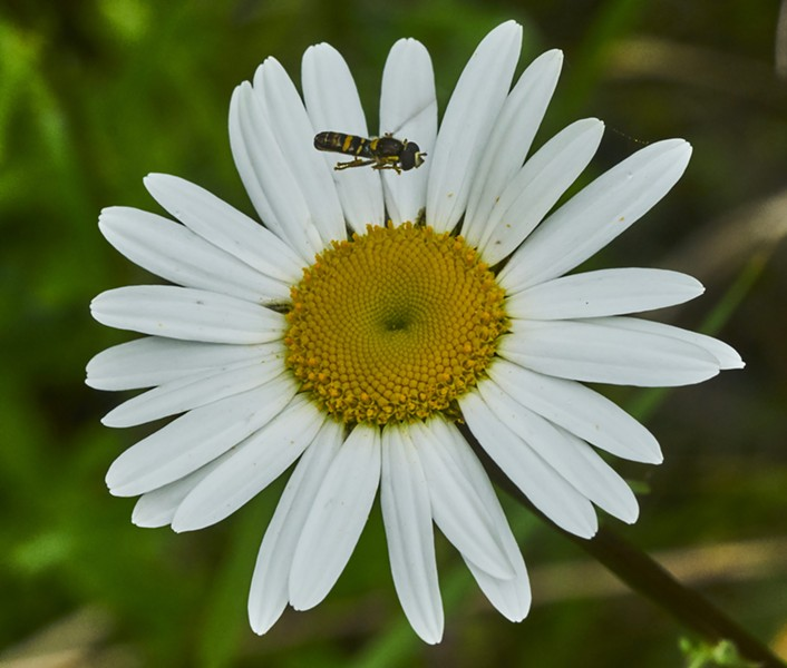 Syrphid fly inspects a daisy before landing. - PHOTO BY ANTHONY WESTKAMPER