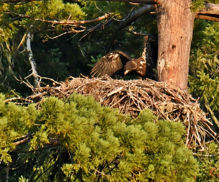 After the firefighters left, the eaglet began to move again. - PHOTO BY TALIA ROSE
