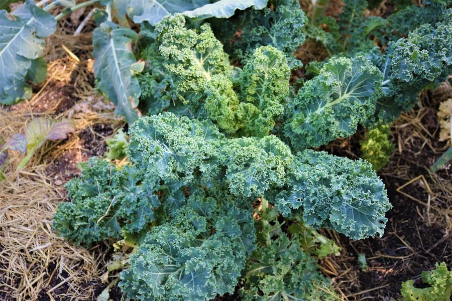 Kale from Matt Drummond's garden. - IRIDIAN CASAREZ