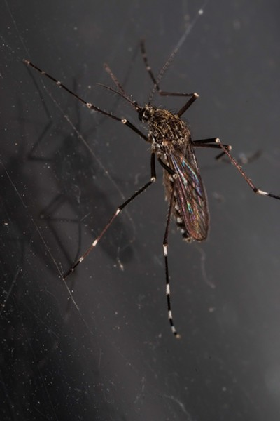 Western tree hole mosquito (Aedes sierriensis), the most common carrier of canine heartworm disease my backyard. - PHOTO BY ANTHONY WESTKAMPER