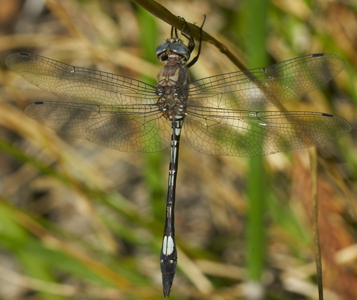 Pale-faced clubskimmer. - PHOTO BY ANTHONY WESTKAMPER