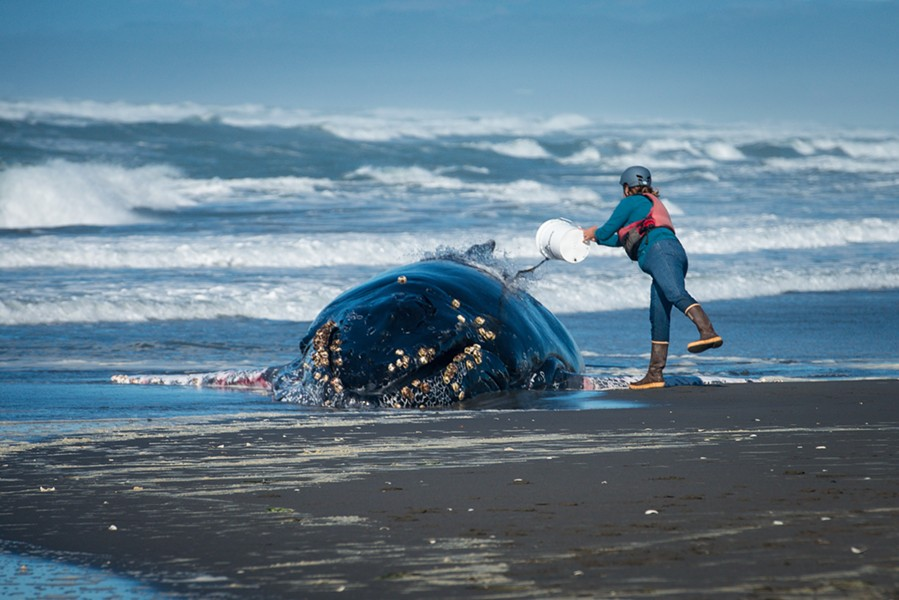 Helmet Allison Lui with HSU Marine Mammal Stranding Network throws sea water on a humpback whale that was found beached just north of Samoa, California on Wednesday. - MARK MCKENNA