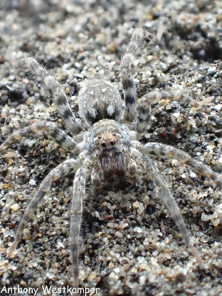 Closeup portrait of beach wolf spider. - PHOTO BY ANTHONY WESTKAMPER