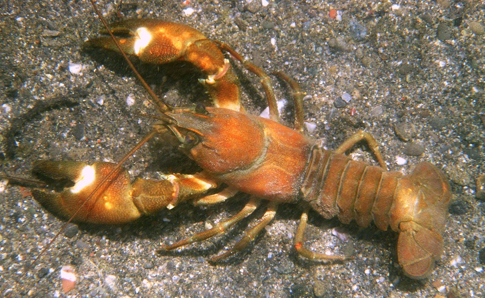 American signal crayfish. - PHOTO BY MIKE KELLY.