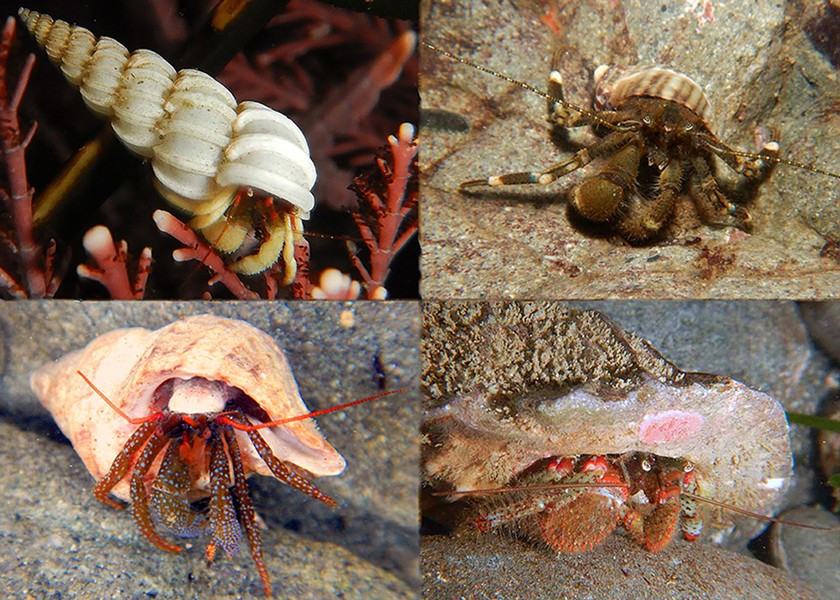 Various hermit crabs. - PHOTO BY MIKE KELLY.