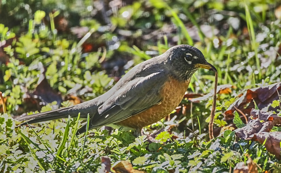 Robins hunt worms by listening: finding their prey by listening for the sounds of them tunneling through the dirt. - PHOTO BY ANTHONY WESTKAMPER