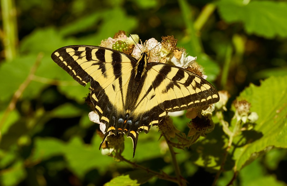 Western tiger swallowtail. - PHOTO BY ANTHONY WESTKAMPER
