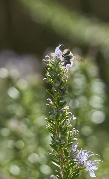 Fuzzy Anthrophora pacifica work diligently, harvesting pollen and nectar from rosemary. - PHOTO BY ANTHONY WESTKAMPER