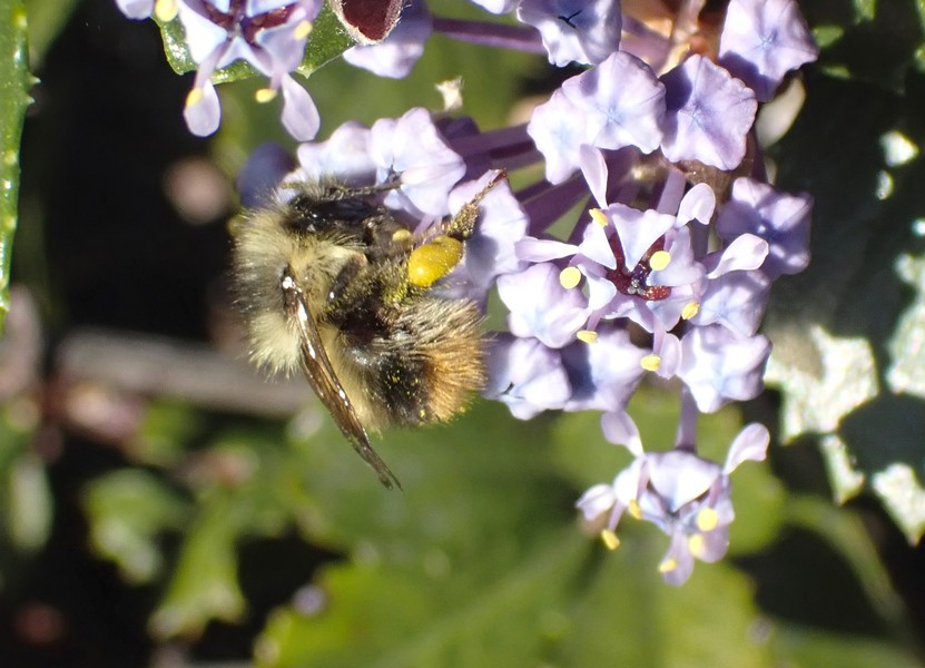 Considerably smaller than a honeybee tiny bumblebees service ceanothus in Humboldt Hill. - PHOTO BY ANTHONY WESTKAMPER