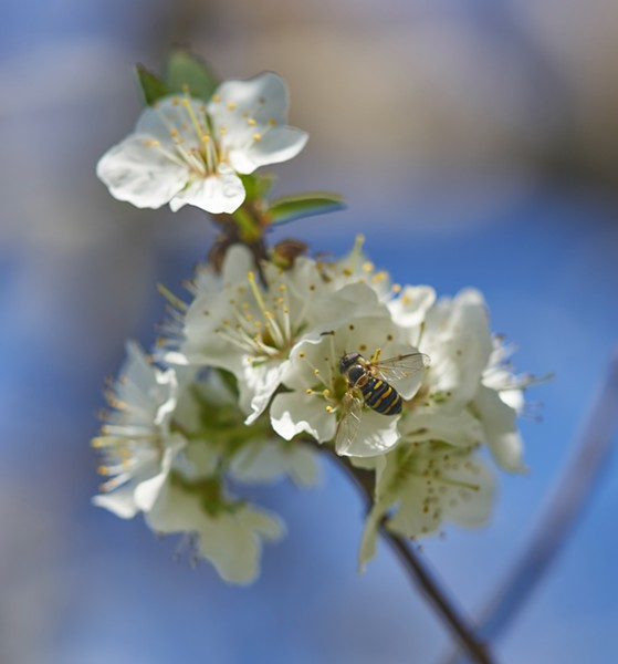 Hover fly dines at green gage plum blossoms. - PHOTO BY ANTHONY WESTKAMPER