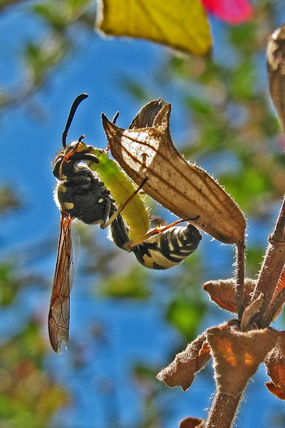 A potter wasp prepares to make baby food of a caterpillar. - ANTHONY WESTKAMPER
